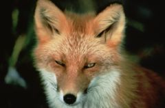 Fox_US_Fish_and_Wildlife_Service_6_22_09